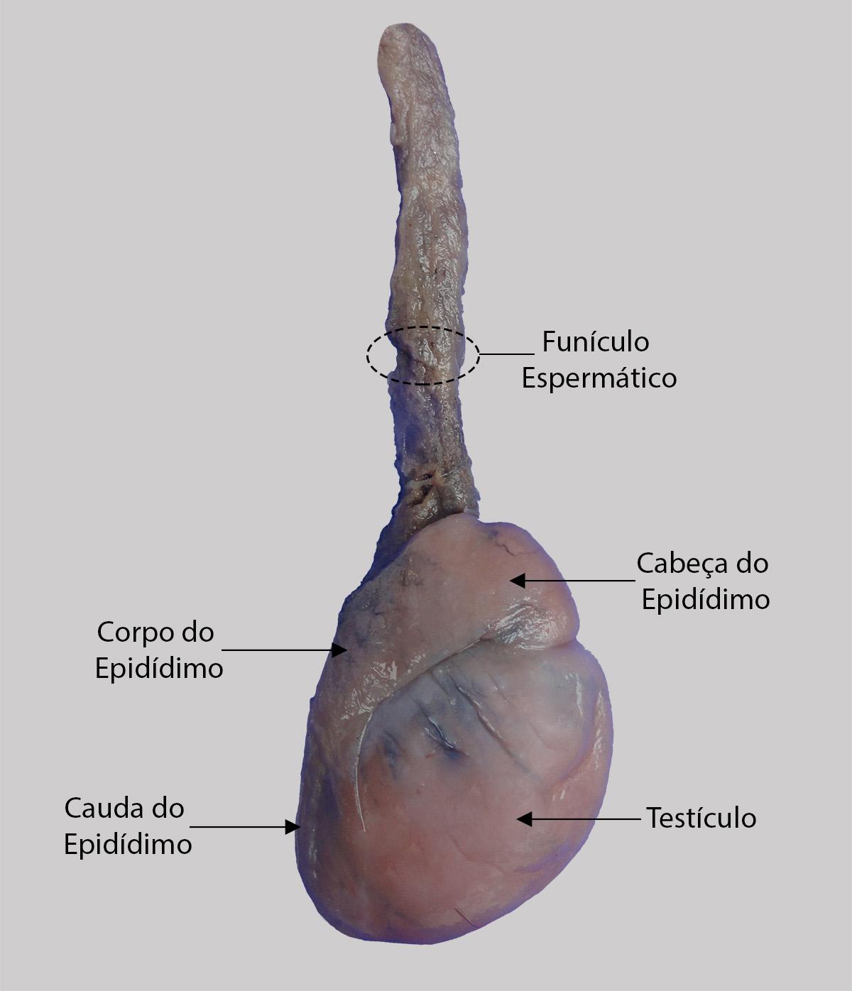 Bonito Testículos Humanos Anatomía Regalo - Anatomía de Las ...
