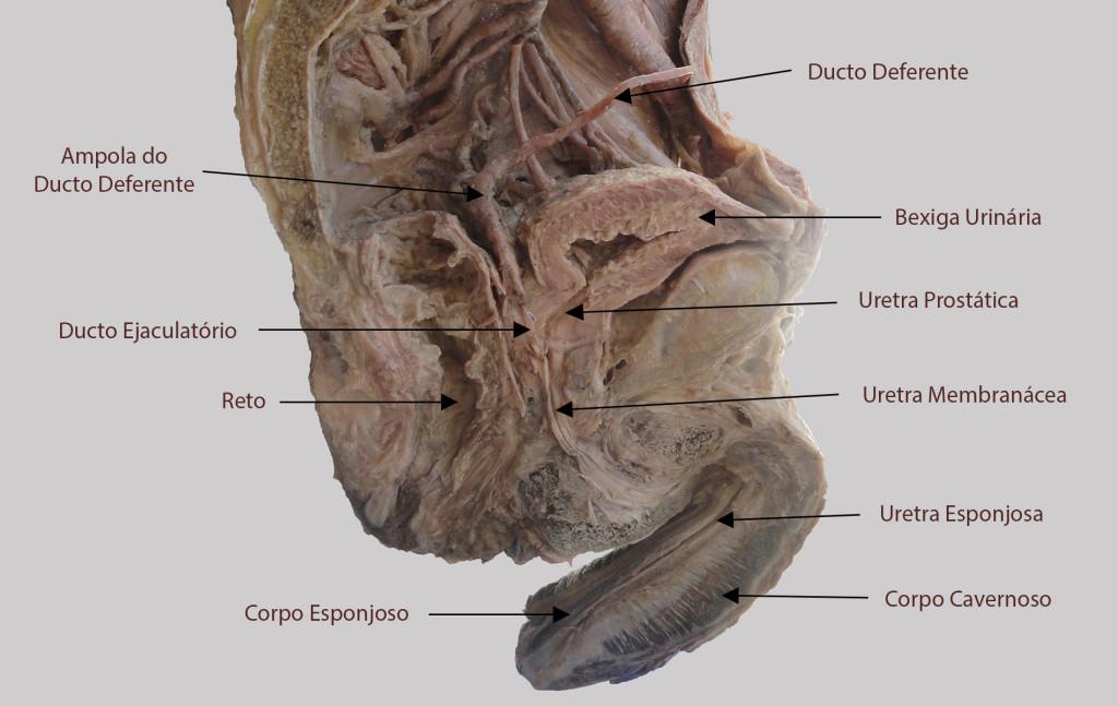 Secção mediana da pelve masculina