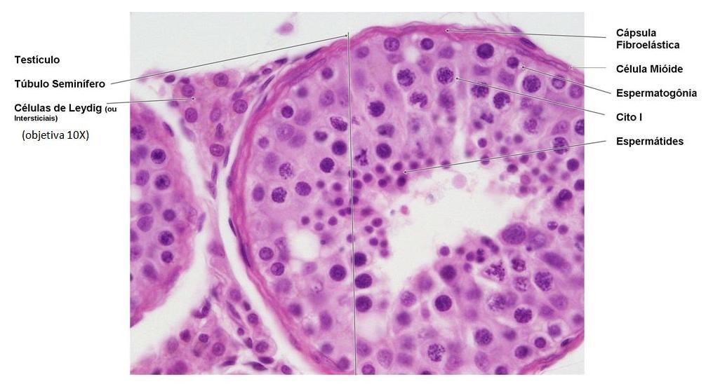 Tubulo seminifero2 (1)